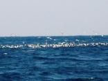 アミエビに 鳥が集まります 魚の反応無し イルカのせい