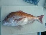 2013年最後の魚 真鯛4.8kg おめでたいで締め・来年は吉年かな