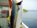 ヒラマサ127.5cm  19kg