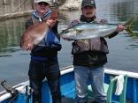 釣果5月1日午前便  ヒラマサ90cm弱1本 真鯛40~70cmまで26枚
