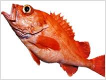 アコウダイ|魚図鑑|つりー