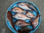真鯛:0.8kg・0.5kg・0.5kg・0.4kg・0.2kg