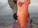 寒鯛(コブダイ)77cm・9kg