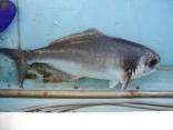 目鯛(めだい)5キロ?8キロ 5匹