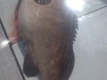 2015年7月24日の釣果:福山さんらでアラの23kgを1尾