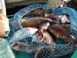 オオモンハタ大漁です
