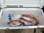 竿頭で3枚釣った八戸の村松さんのクーラーボックスです。
