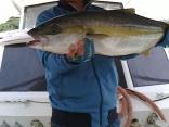 ■9/24山口県栗本さん・吉村さんの釣果●ヒラマサ6kg ●カンパチ4kg