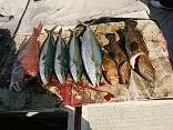 佐賀県藤井さんら4名の釣果●ヒラマサ5kg●アラ4kg