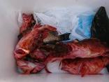 オオモンハタ、カサゴ、ヒラメ