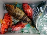 5日釣果カサゴ、アオハタ、アヤメカサゴ