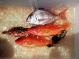 18日 半日釣行 真鯛、アカハタ、オオモンハタ