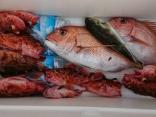 5日カサゴ、真鯛、キンフグ