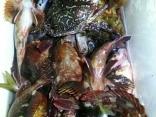 水面漂うワタリガニ2匹捕獲された方のクーラーBOX
