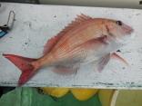 真鯛 1kg