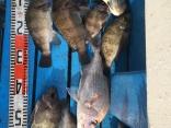 25m〜29cm真鯛もメバルサビキ0.8でドラックゆるゆるで時間をかけて。