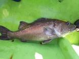 超高級魚「アラ」