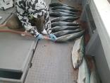 3/10(日)釣果●ヒラマサ4kg~9kgを12尾 ●ブリ8kg