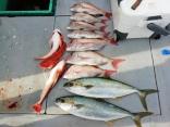 真鯛、ヒラマサ、ホウボウ