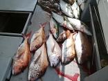 ■4/18(木)釣果●マダイ~5kg ●ヒラメ~3kg