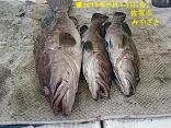 ■6/14(金) 宮崎さんG釣果●アラ7kgと4.5kgを2尾 計3尾