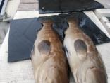 ■6/29(土)藤井さんらが ●アラ6kgと5kg を2尾 上げました。