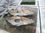 ■8/4(日)柳川市古賀さん釣果 ●アラ8kg を2尾上げました。