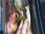 ヒラマサ8本、真鯛50センチまで2枚