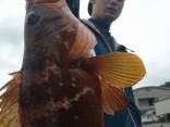 45cmのキジハタ 浅場で釣れました。