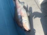 5キロ超えの大鯛