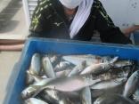 加西市 岩本さん 大漁良型マアジ25~30を48匹!!