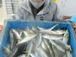 加古川市 出口さん 大漁良型マアジ25~30を52匹!!
