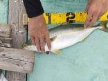 最初に釣り上げたツバス。約40cm